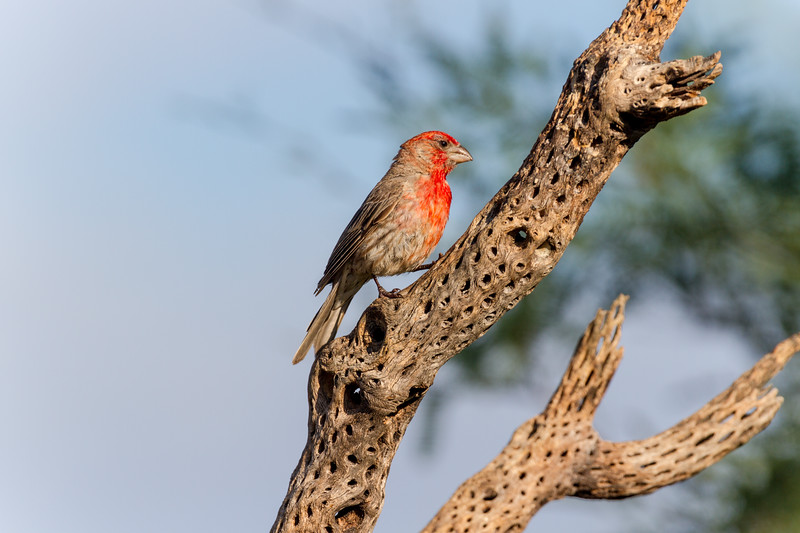 House Finch, Haemorhous mexicanus, on dead Cholla stump in Arizona.