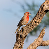 House Finch, Haemorhous mexicanus, on dead Cholla stump in Arizona.
