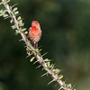 House Finch, Haemorhous mexicanus, perched on Ocotillo branch in Arizona.
