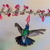 Broad-billed Hummingbird, Cynanthus latirostris, feeding on nectar flowers.