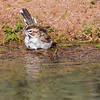 Lark Sparrow, Chondestes grammacus, taking a bath in Arizona desert.