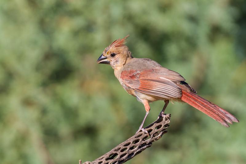 Northern Cardinal, Cardinalis cardinalis, in Arizona desert.