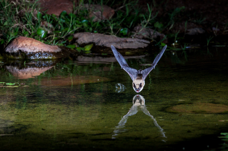 Bat at night, diving to pond for drink of water.
