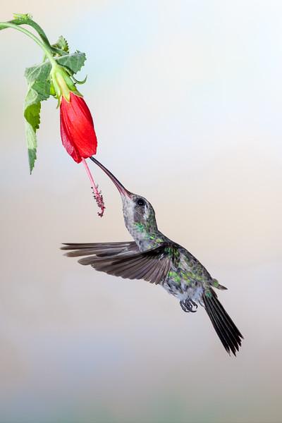 Broad-billed Hummingbird, Cynanthus latirostris, feeding at nectar flowers.