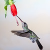 Broad-billed Hummingbird, Cynanthus latirostris, feeding at nectar flowers.