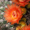 Arizona Barrel Cactus or Candy Barrel Cactus,  Ferocactus wislizeni, in bloom in desert.