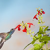 Broad-billed Hummingbird, Cynanthus latirostris, feeding at flower.