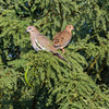 White-winged dove, Zenaida asiatica, and Mourning Dove, Zenaida macroura, in Arizona desert.