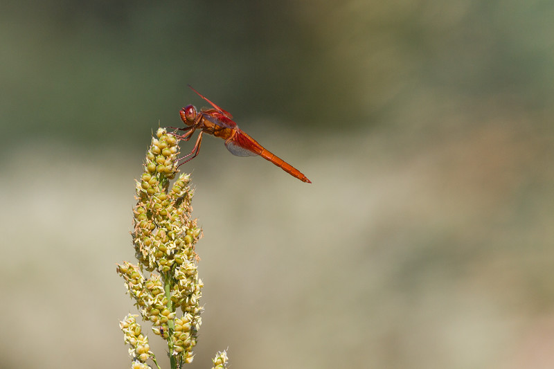 Dragonfly Flame Skimmer, Libellula saturata, perched on Millet plant in southwestern desert