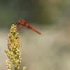 Dragonfly Flame Skimmer, Libellula saturata, perched on Millet plant in southwestern desert