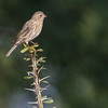 Female House Finch, Haemorhous mexicanus, on Ocotillo branch in Arizona.