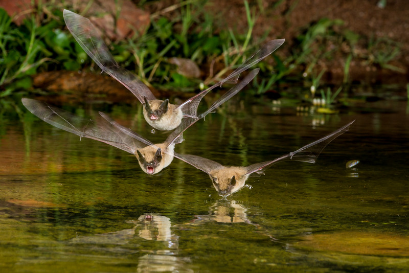 Three bats at night diving to pond to get a drink of water.