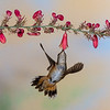 Rufous Hummingbird, Selasphorus rufus, feeding on nectar flowers.