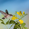 Black-chinned Hummingbird, Archilochus alexandri, on yellow Cat's Claw flower, Macfadyena unguis-cati, in Arizona.