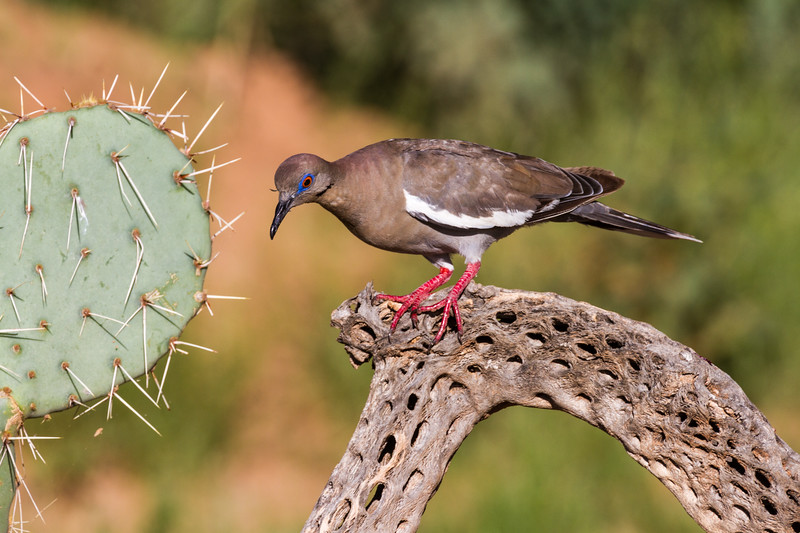 White-winged Dove, Zenaida asiatica, in Arizona desert.