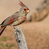 Pyrrhuloxia, Cardinalis sinuatus, also known as the Desert Cardinal, in Arizona desert.