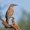 Curve-billed Thrasher, Toxostoma curvirostre, in Arizona desert.