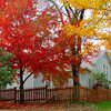 Autumn in Arkansas - Maple trees in full color in  Eureka Springs, Arkansas.