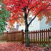 Autumn in Arkansas - Maple trees in full color in  Eureka Springs, Arkansas.