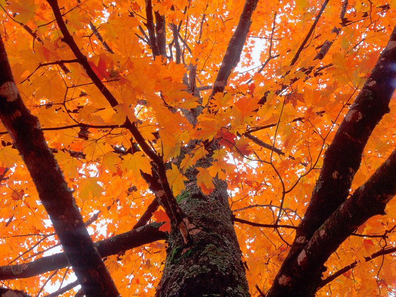 Maple tree in autumn in Eureka Springs, Arkansas.
