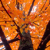 Maple tree in autumn in Eureka Springs, Arkansas.