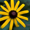 Black-eyed Susan at Ozark Folk Center, Mountain View, Arkansas
