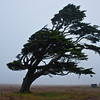 Wind-blown tree in stormy weather on Point Arena Lighthouse peninsula on the rocky pacific coast of northern California. The wind blows constantly in one direction, shaping the tree like a large Bonsai tree.