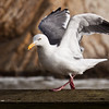 Western Gull, Larus occidentalis, looking for food on pier at Point Arena on the Pacific Coast of Northern California. Adult in breeding plumage.