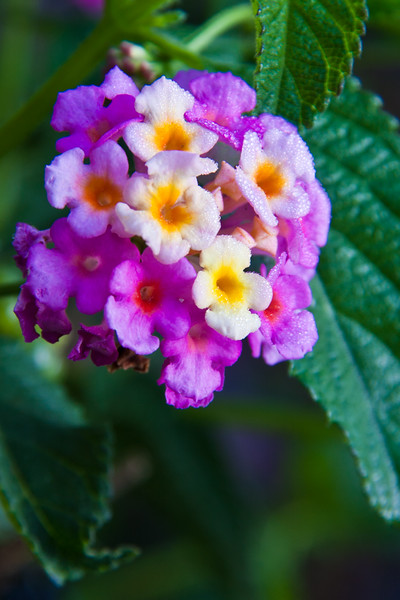 Lantana in bloom in October at Gualala Arts Center in Gualala on the northern pacific coast of California.