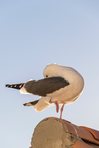 Western Gull in early morning light at Hamilton Cove on Catalina Island in California.