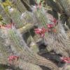 Old Man of the Mountain Cactus in Wrigley Memorial Garden on Catalina Island, California.