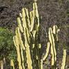 Variegated African Candelabra in Wrigley Memorial Garden on Catalina Island, California.