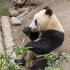 Giant Panda Bear Cub at San Diego Zoo.