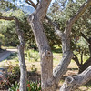 Island Scrub Oak tree in Wrigley Memorial Garden on Catalina Island, California.
