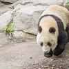 Giant Panda Bear Cub at San Diego Zoo.