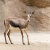 Cuvier's Gazelle, a critically endangered species, at San Diego Zoo.