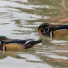 Wood Ducks in pond at San Diego Zoo.