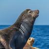 California Sea Lions near Santa Catalina Island in California.