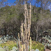 Monster Cactus in Wrigley Memorial Garden on Catalina Island, California.