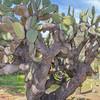 Opuntia streptacantha Prickly Pear Cactus in Wrigley Memorial Garden on Catalina Island, California.