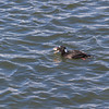 Surf Scoter duck at Bolsa Chica Ecological Reserve in California.