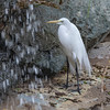 Great Egret at Waterfall in San Diego Zoo.