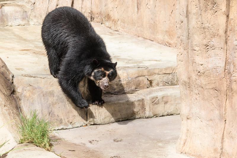 Andean Bear at San Diego Zoo.