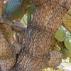 Prickly Pear Cactus, Opuntia streptacantha, in Wrigley Memorial Garden on Catalina Island, California.