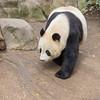 Giant Panda Bear at San Diego Zoo.
