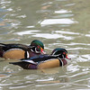 Wood Ducks in pond at San Diego Zoo.