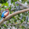 White-breasted Kingfisher at San Diego Zoo.