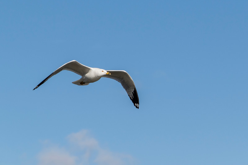 Ring-billed Gull in flight at Bolsa Chica Ecological Reserve in California.