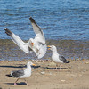 Western Gulls engaging in territorial behavior on Catalina Island, California.