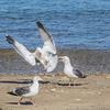 Western Gulls engaging in territorial behavior on Catalina Island, California.